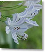 Close Up - African Lily Metal Print