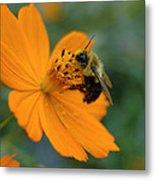 Close Up Bee Feeding On Orange Cosmos Metal Print