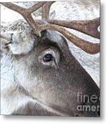 Close-up Caribou Reindeer Metal Print