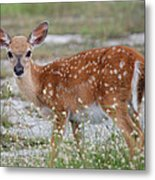 Close Up Key Deer Metal Print