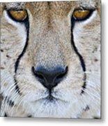 Close-up Of A Cheetah Acinonyx Jubatus Metal Print