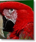 Close Up Of A Gorgeous  Green Winged Macaw Parrot. Metal Print