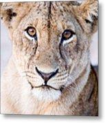 Close-up Of A Lioness Panthera Leo Metal Print