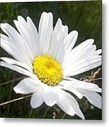 Close Up Of A Margarite Daisy Flower Metal Print
