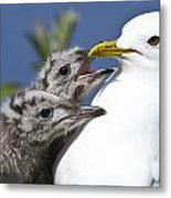 Close Up Of A Mew Gull With Two Hungry Metal Print