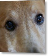 Close Up Of A Pet Dogs Eyes Metal Print