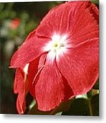 Close Up Of A Red Busy Lizzie Flower Metal Print