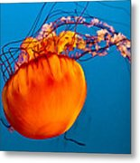 Close Up Of A Sea Nettle Jellyfis Metal Print