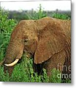 Close Up Of African Elephant Metal Print
