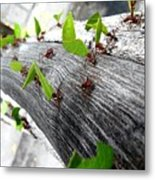 Close-Up Of Ants Carrying Leaves Metal Print