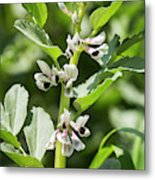 Close Up Of Fava Bean Blossoms Metal Print