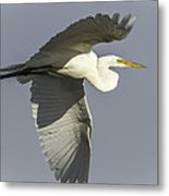 Close Up Of Great Egret In Flight Metal Print