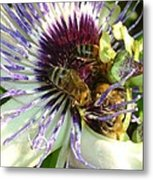 Close Up Of Passion Flower With Honey Bee  Metal Print