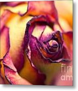 Close Up Of The Dry Rose Metal Print