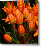 Close-up Of Wildflower Buds Metal Print
