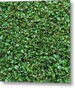 Close-up Privet Hedge Metal Print