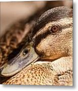 Close Up Shot Of Female Mallard Duck Metal Print