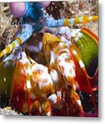 Close-up View Of A Mantis Shrimp Metal Print