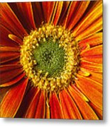 Close Up Yellow Orange Mum Metal Print