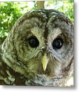 Closeup Of A Barred Owl Metal Print