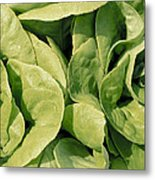 Closeup Of Boston Lettuce Metal Print