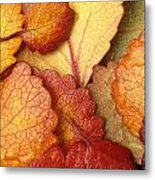Closeup Of Dwarf Birch Leaves Autumn Ar Metal Print