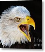 Closeup Portrait Of A Screaming American Bald Eagle Metal Print