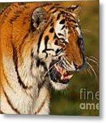Closeup Portrait Of A Siberian Tiger  Metal Print