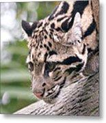 Clouded Leopard Cub Metal Print