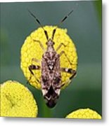 Clouded Plant Bug On Tansy Metal Print