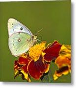 Clouded Sulphur Butterfly Metal Print