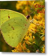 Cloudless Sulphur Metal Print