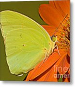 Cloudless Sulphur Butterfly Metal Print