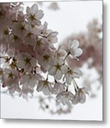 Clouds Of Soft Pink Blossoms - A Tribute To Spring Metal Print