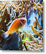Clown Fish - Anemonefish Swimming Along A Large Anemone Amphiprion Metal Print