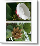Clusia Rosea - Clusia Major - Autograph Tree - Maui Hawaii Metal Print by Sharon Mau