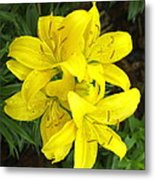 Cluster Of Yellow Lilly Flowers In The Garden Metal Print