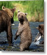 Coastal Brown Bear Family Metal Print