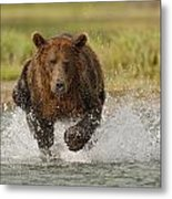 Coastal Grizzly Boar Fishing Metal Print by Kent Fredriksson