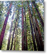 Coastal Redwoods Reach For The Sky In Armstrong Redwoods State Preserve Near Guerneville-ca Metal Print