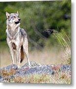 Coastal Wolf Metal Print