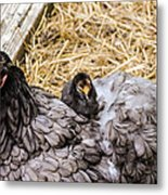Cochin Hen And Chick Metal Print