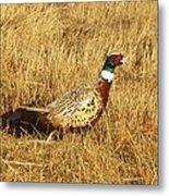 Cock Ringneck Pheasant Metal Print