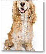 Cocker Spaniel Dog Isolated On White Metal Print