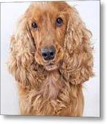 Cocker Spaniel Dog Portrait Metal Print