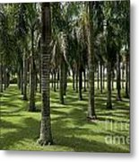 Coconuts Trees In A Row Metal Print by Sami Sarkis