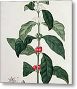 Coffea Arabica From Phytographie Metal Print