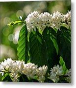 Coffee Coffea Arabia Blossoms, Kona Metal Print