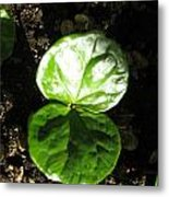 Coffee Plant The Shiny Thick Green Butterfly Look Plant Gives The Great Promise Of A Cash Crop To Th Metal Print