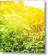 Coffee Plantation Sunny Background Metal Print